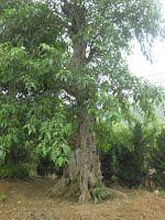cây sung