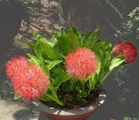 Cây hoa hỏa châu