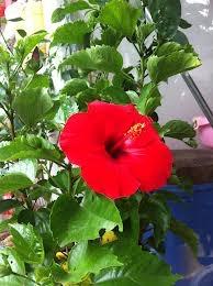 Cây hoa râm bụt