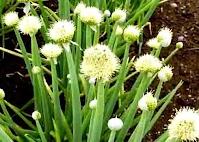 Cây hành hoa