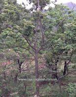 cây sau sau